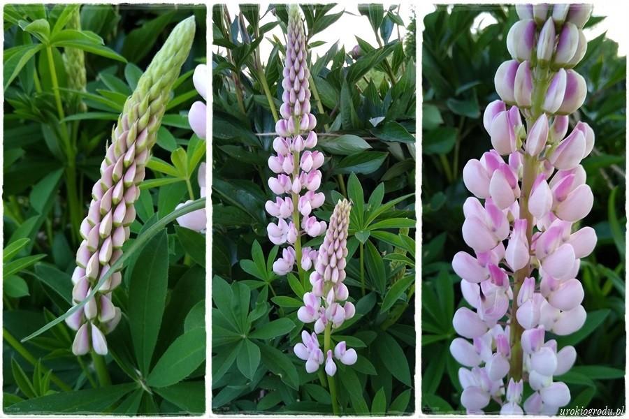 Biały łubin ogrodowy kwiaty