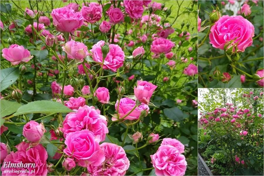 Kwitnąca w czerwcu Róża Elmshorn