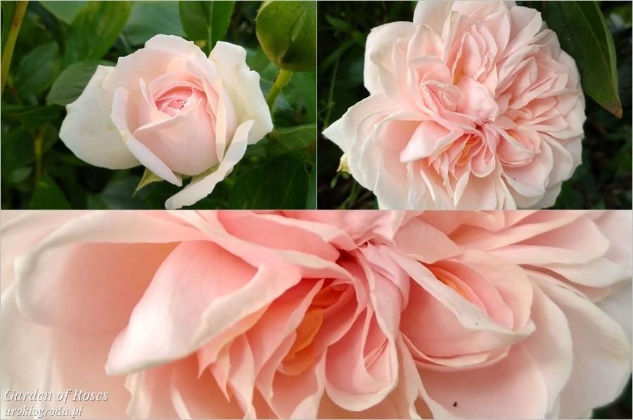 Kwiat róży odmiana Garden of Roses