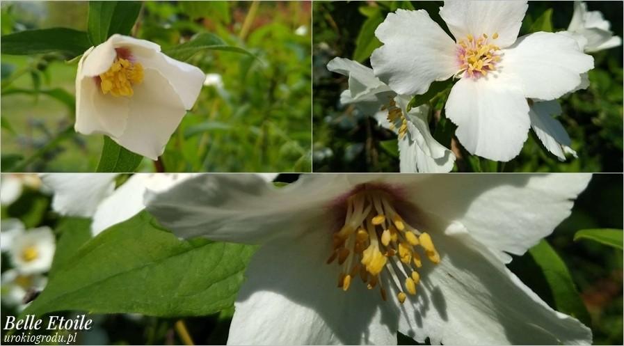 Kwitnący w ogrodzie jaśminowiec Belle Etoile