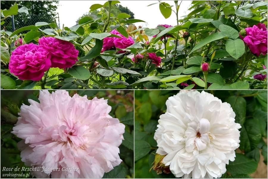 Kwitnące w ogrodzie róże na płatki i konfitury odmiany Rose de Rescht i Jacques Cartier