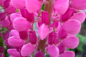 kwiat łubinu