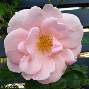 Róża New Dawn w czerwcu