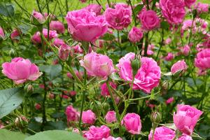 kwitnąca róża elmshorn