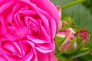 kwiat róży Elmshorn