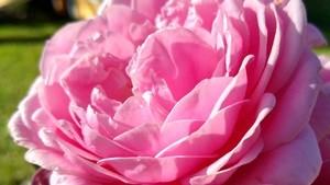 róża cupcake