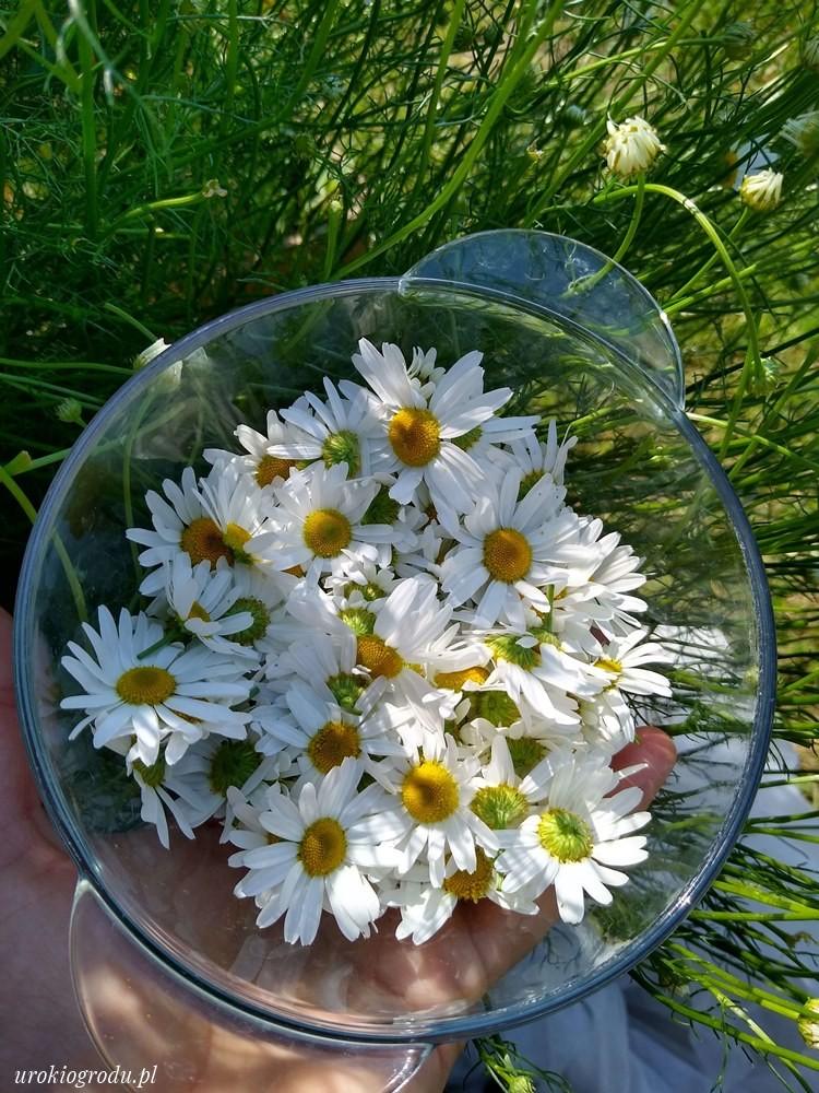 kwitnący rumianek