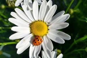 kwiat rumianku