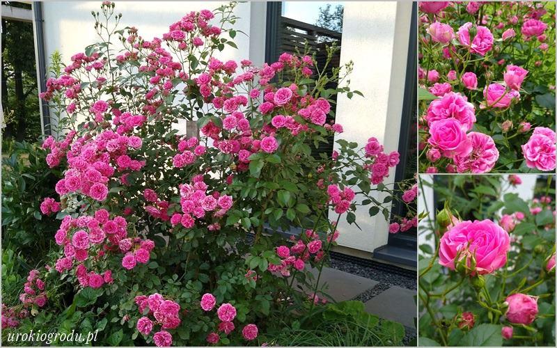 Róża Elmshorn