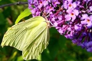 żółty motyl na budlei
