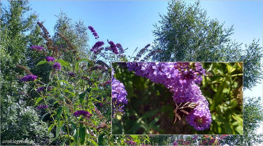 Budleja Dawida kwitnący krzew