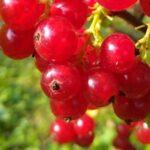 Porzeczka czerwona owoce