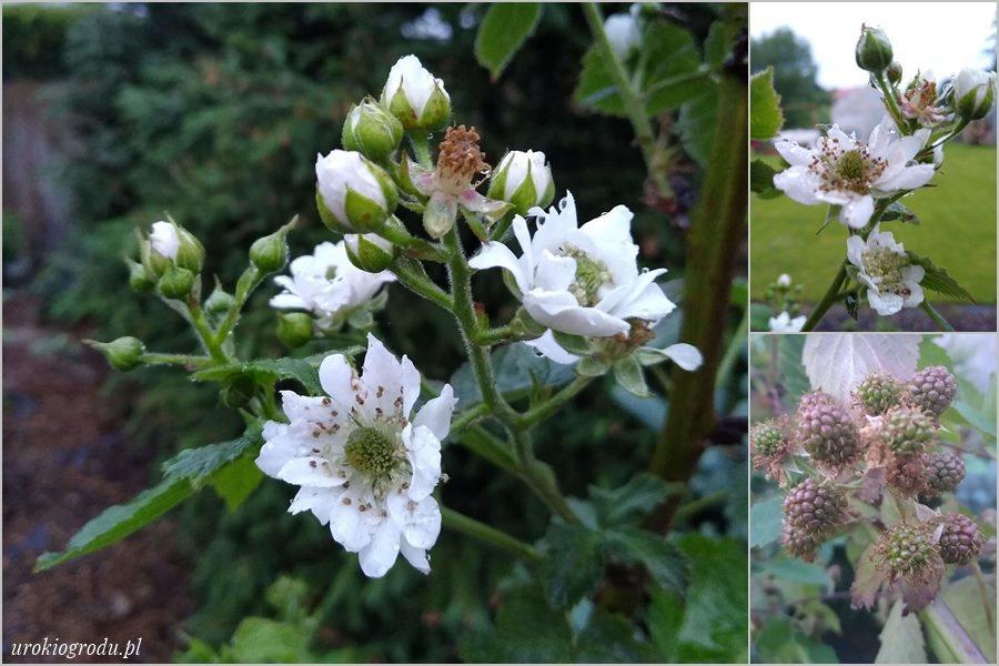 kwiaty jeżyny bezkolcowej