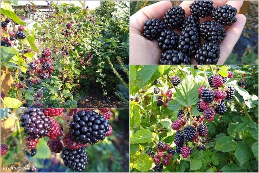 owoce jeżyny