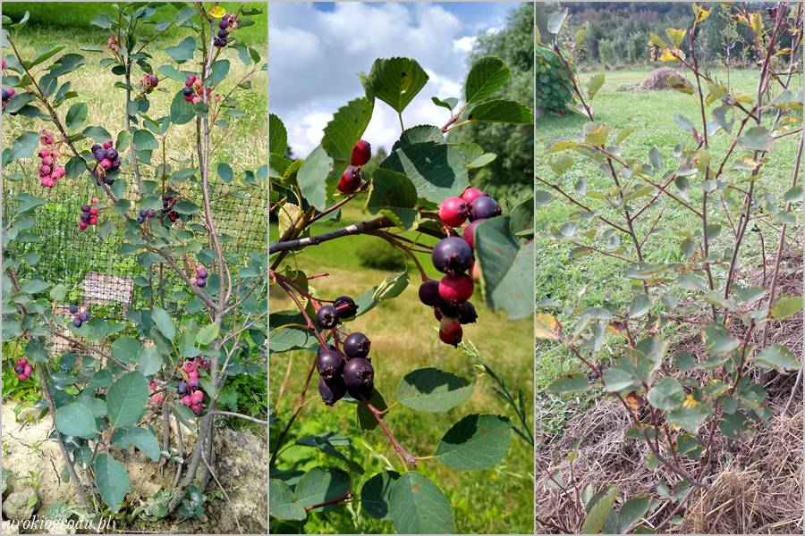krzew świdośliwy uprawa