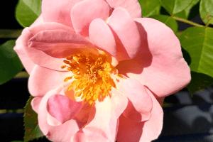 pnąca róża new dawn