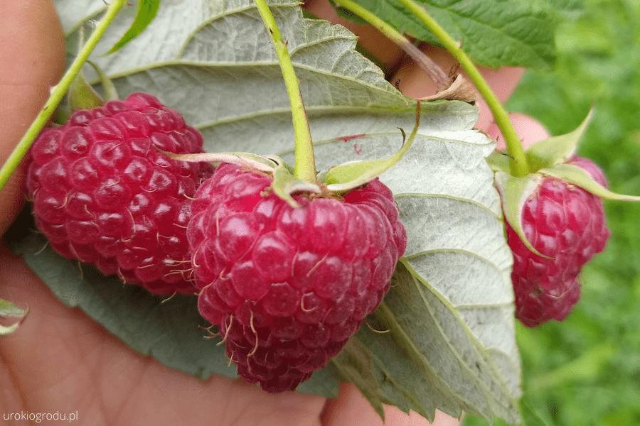 uprawa malin w ogrodzie