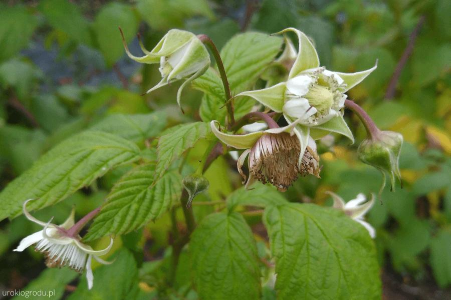 kwitnące maliny