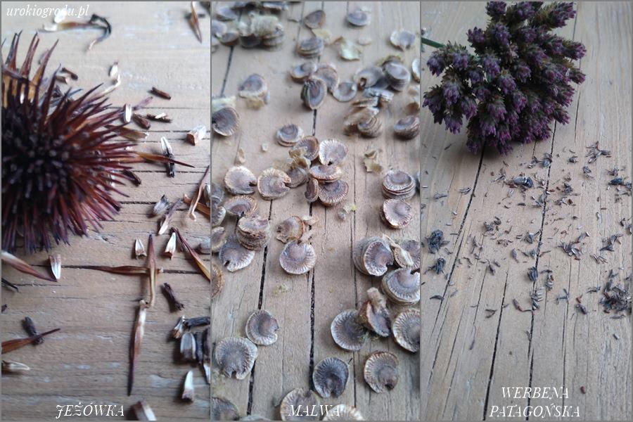nasiona malwy jeżówki werbeny patagońskiej
