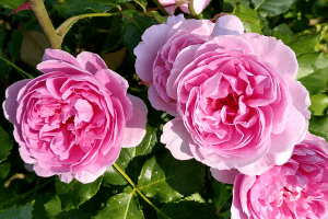 róża parkowa maid marion