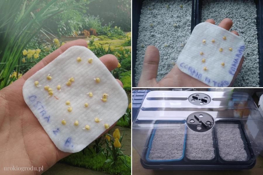 podkiełkowane nasiona papryki