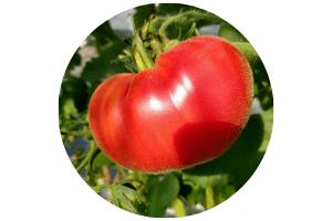 owoc pomidora z ogrodu