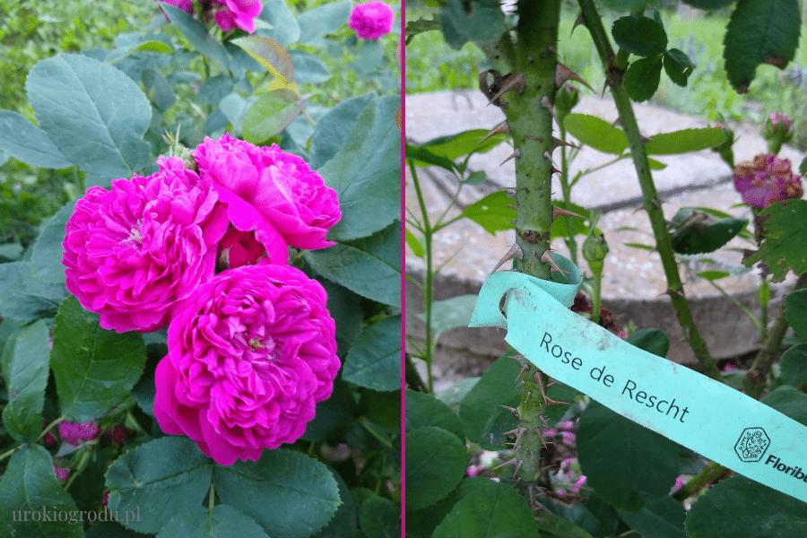 Róża Rose de Rescht
