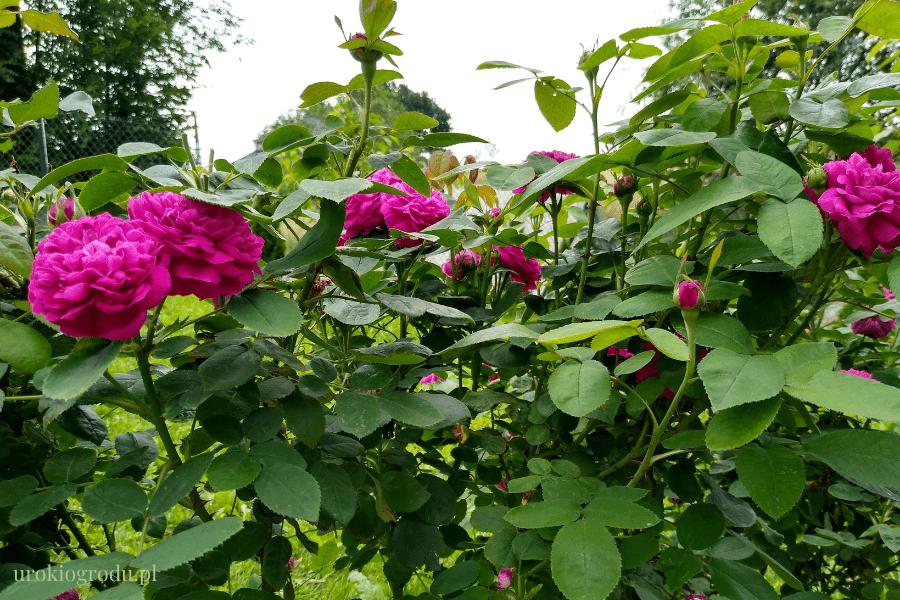 Krzew róży jadalnej Rose de Rescht