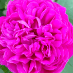 róża na płatki rose de rescht