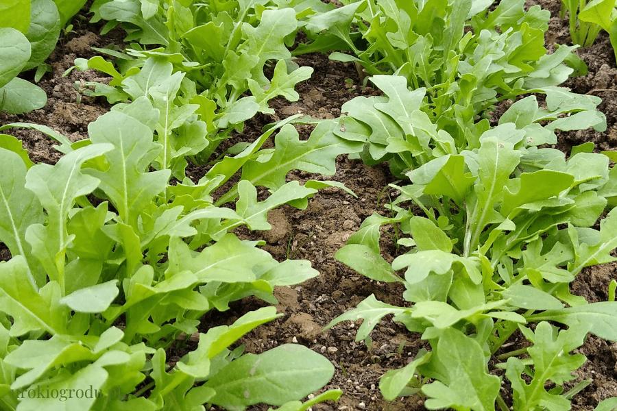 Rukola siew i uprawa w ogrodzie