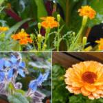 Kwiaty pożyteczne w warzywniku aksamitka, ogórecznik, nagietek