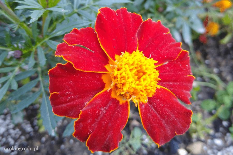 kwiaty w warzywniku aksamitka