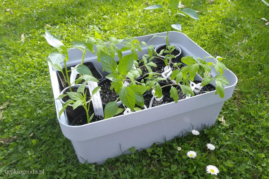 hartowanie rozsady pomidorów i ogórków