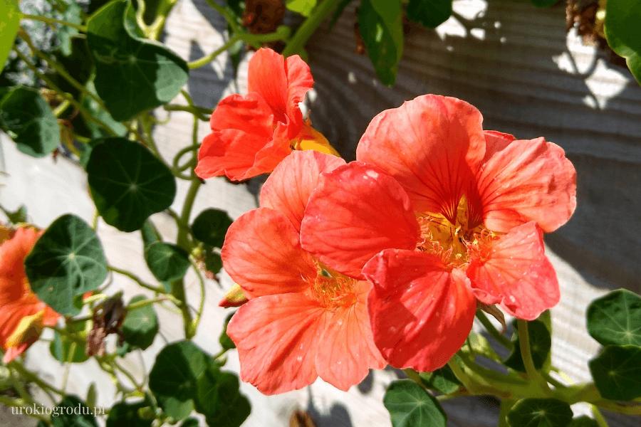 Pomarańczowa nasturcja w warzywniku