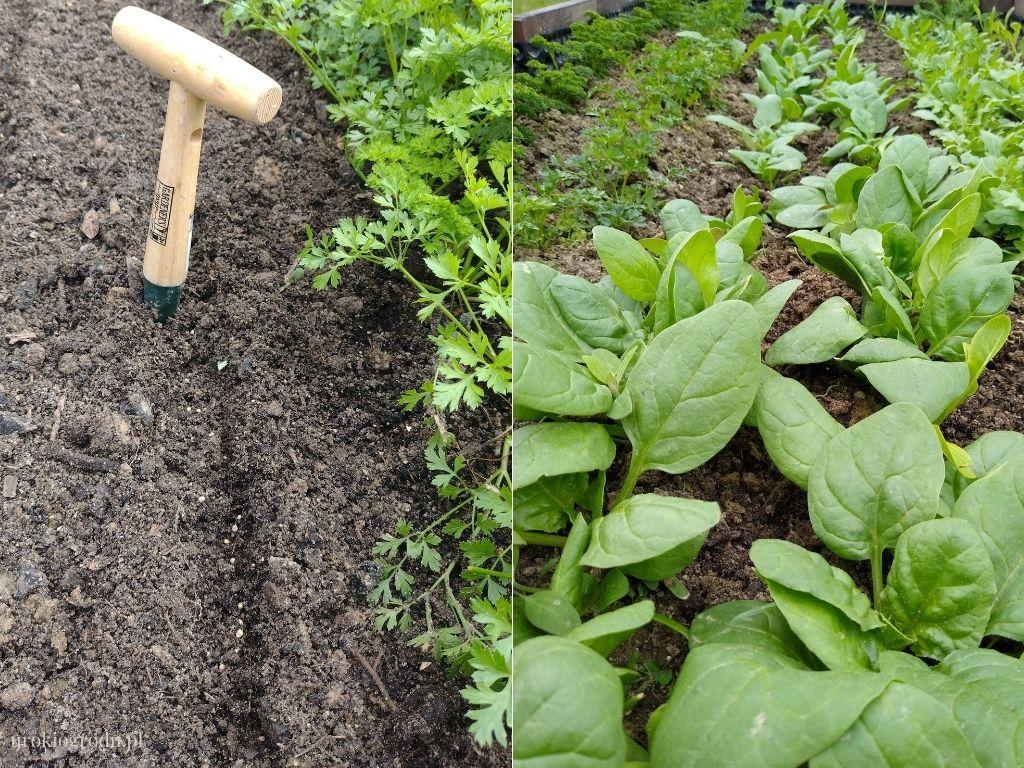 Nasiona szpinaku jak wysiewać