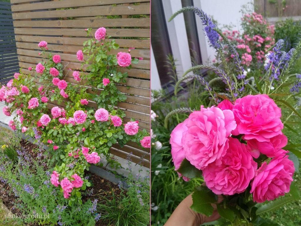 Róża pnąca parkowa Rosarium Uetersen