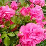 Różowa róża pnąca Rosarium Uetersen
